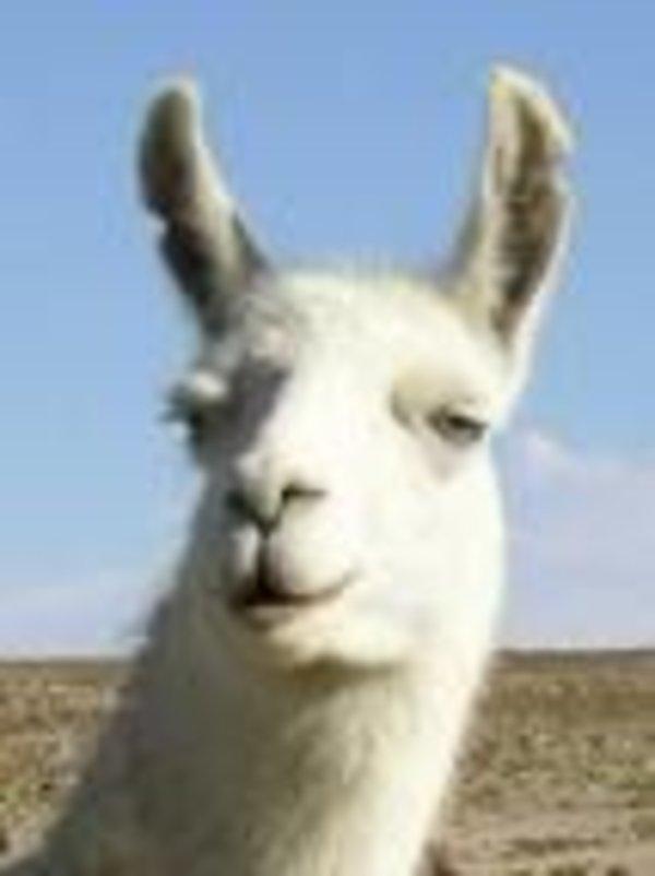 llama song memes