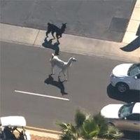 2015 Arizona Llama Chase / #LlamaDrama