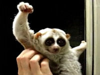 Slow Loris' Victory Pose