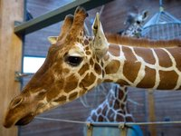 Copenhagen Zoo Kills a Healthy Giraffe