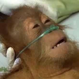 orangutan%20square.jpg