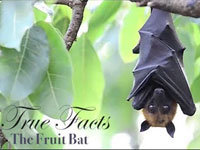 True Facts About Fruit Bats