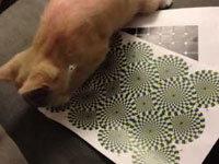 Cat Attacks Optical Illusion
