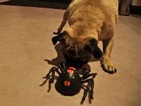 Pug Vs. Spider
