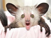 True Facts About the Aye-Aye