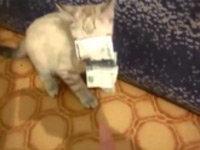 Aggressive Kitten Steals Money