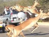 Impala Escapes Hunting Cheetahs