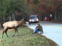Elk Euthanized After Encounter Goes Viral
