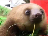 Baby Sloths Making Squeak Noises