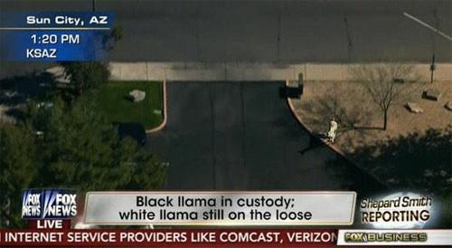 #LlamaDrama: MLK Didn't Die For This