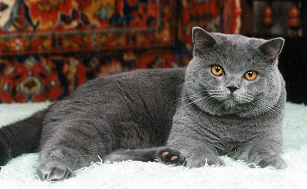 buy munchkin cat