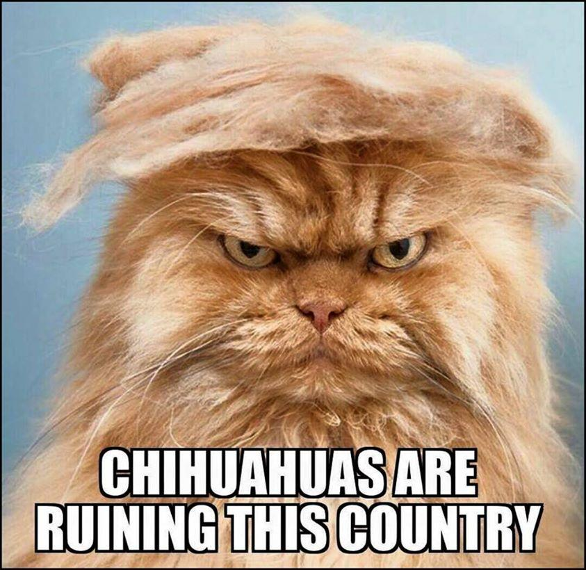 Chihuahuas Are Ruining This Country!