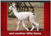 The Llama Song