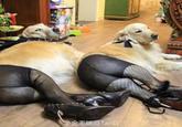 Dogs Wearing Pantyhose