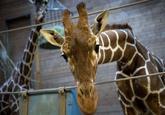 Copenhagen Zoo Giraffe Killing Controversy