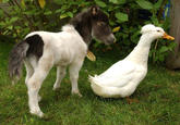 Horse-Sized Duck