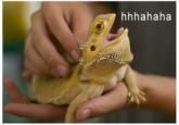 Laughing Lizard / hhhehehe