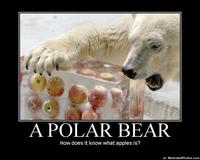Apples Bear