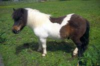 01_36_6---shetland-pony_web