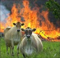 Evil Cows