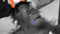 Dying Orangutan