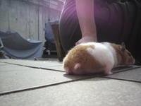 Hamster Butts