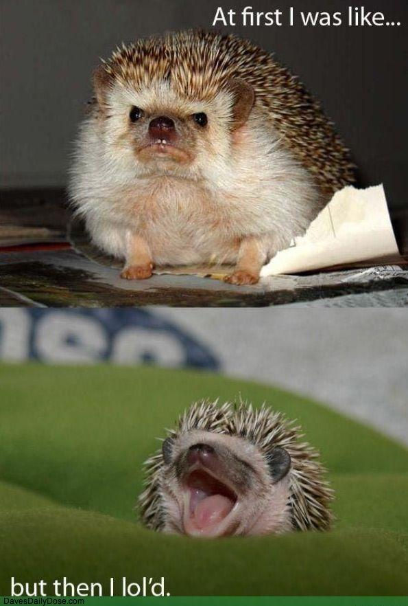 hedgehog_lold.jpg