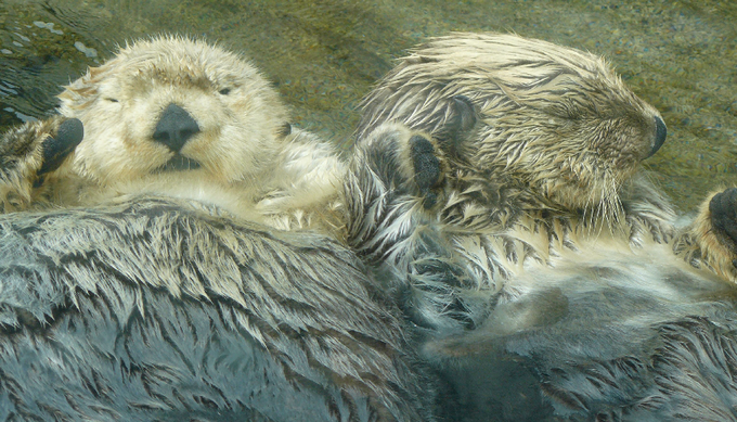 Otter_Love_by_Gazzelles.png
