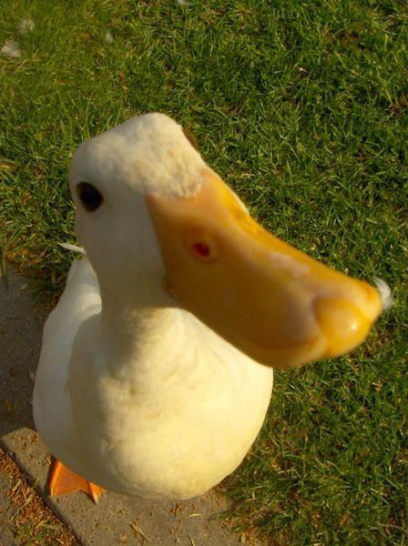 Duck_____.jpg