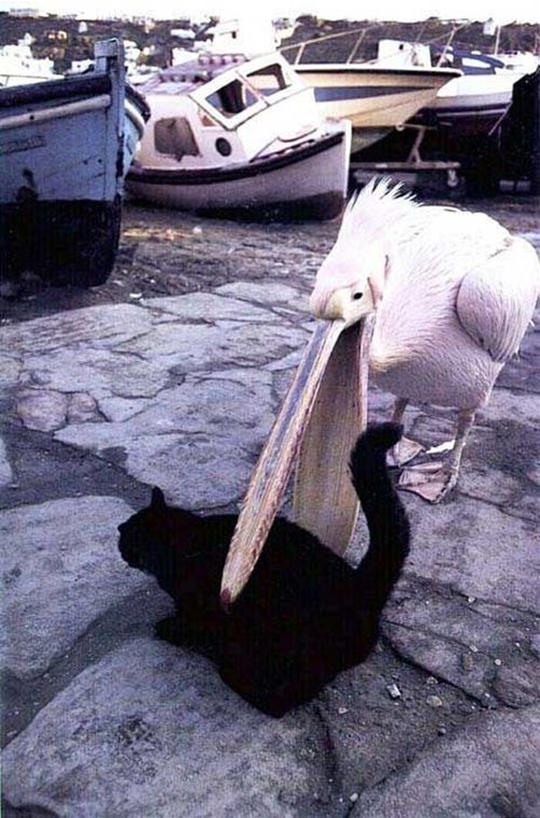 pelican-eats-cat.jpg