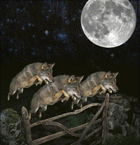 three_wildlife_photographer_of_the_year_2009_wolf_moon.jpg