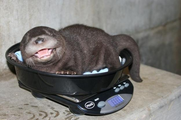 Baby Otter Gets Weighed