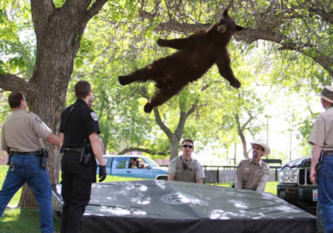Tranquilized bear at the University of Colorado
