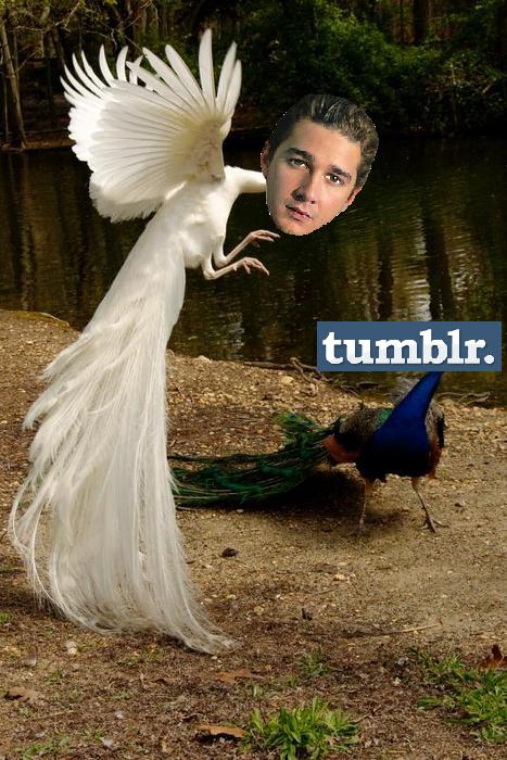 Actual Peacock Shia LaBeouf