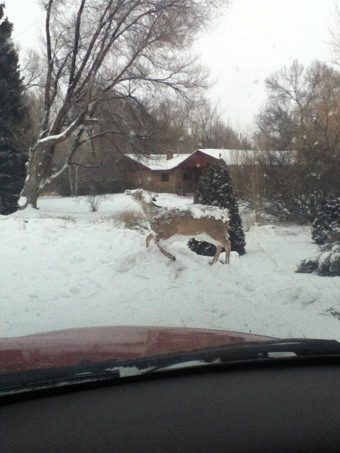 A deer died and froze and someone thought itd make a good lawn decoration.