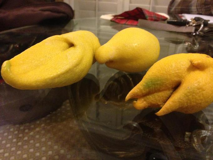 Lemons grew against fence