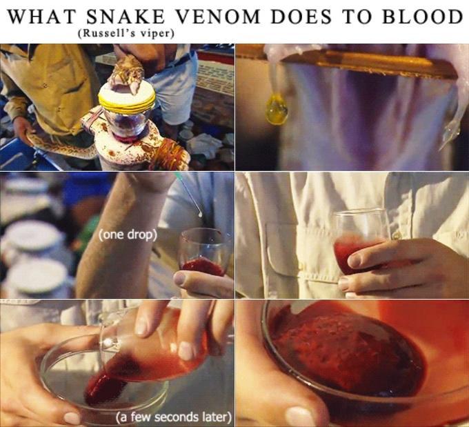 Snake Venom to Blood
