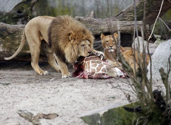 Giraffe is Eaten by Lions