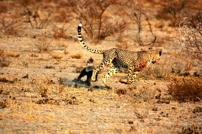 This honey badger is not to be disturbed, cheetah!