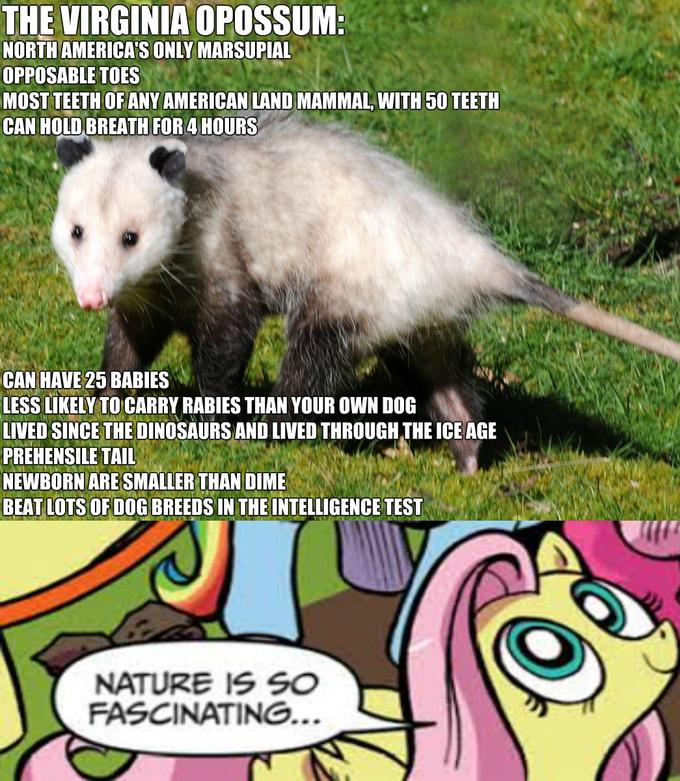 The virginia opossum