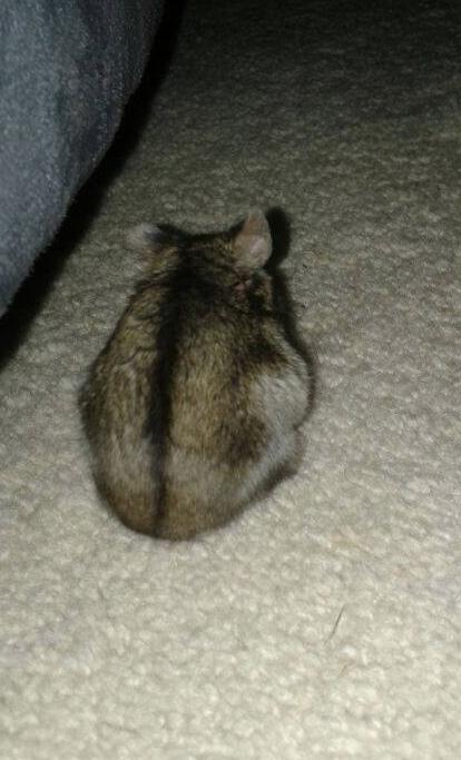 Hamster Butt Grey