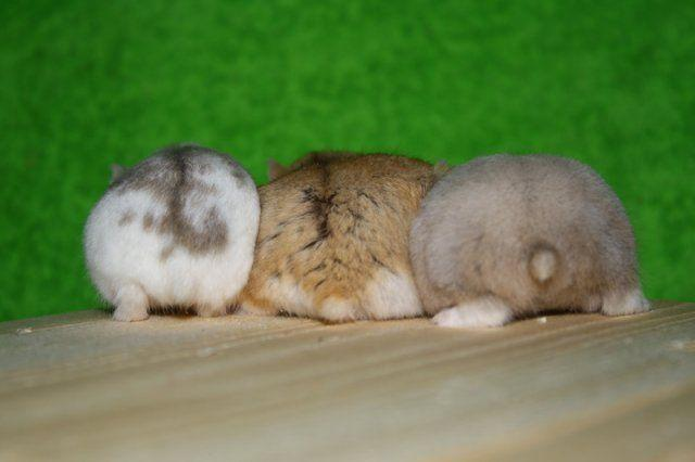 Three Hamster Butts