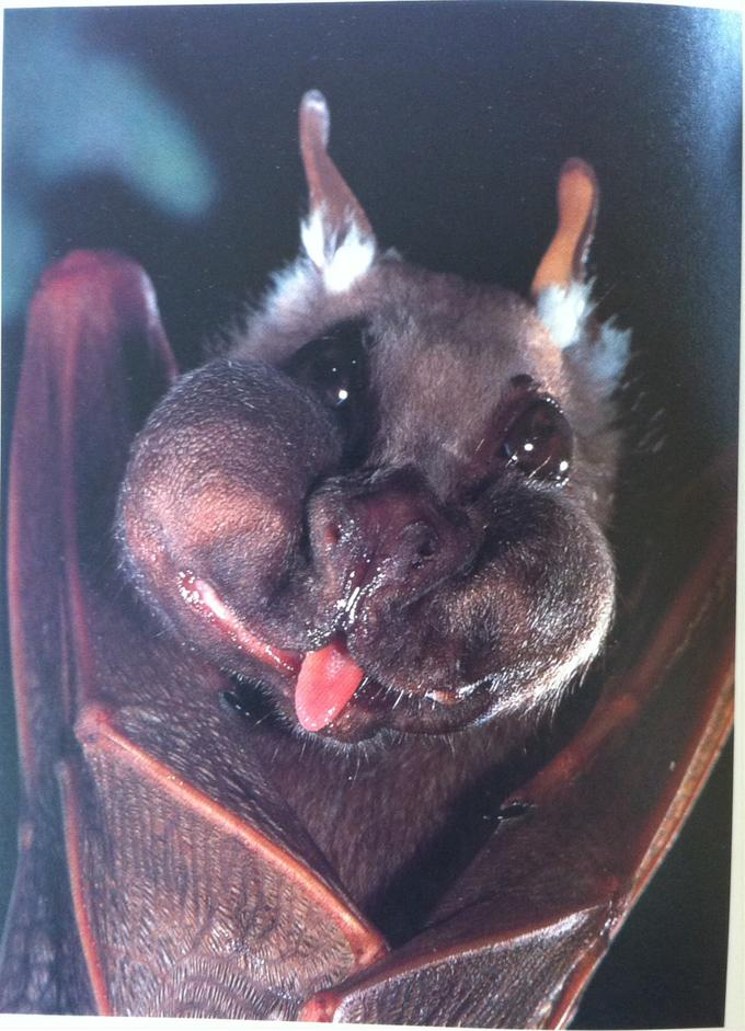 A Wahlberg's epauletted fruit bat